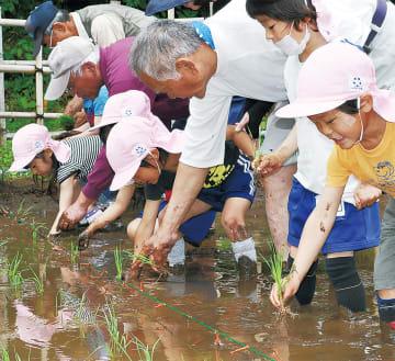 稲を手で植えていく子どもたち
