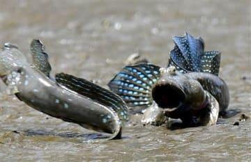 巣穴に近づくライバル(左)を威嚇する雄のムツゴロウ=30日午後、宇土市の住吉漁港