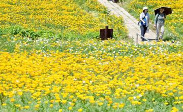 鮮やかなオレンジ色の花が咲き誇るハナビシソウ園=長瀞町長瀞の花の里