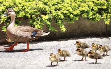親鳥に寄り添うカルガモのひなたち(大津市・ロイヤルオークホテル)