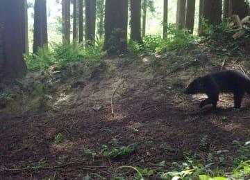 定点カメラがとらえた、十和田市の山林内で活動するツキノワグマ(写真中央右)=高渕英夫さん提供