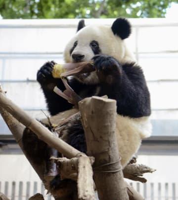 タケノコを食べるシャンシャン=5月7日、東京・上野動物園(東京動物園協会提供)