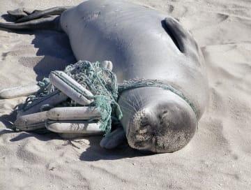 プラスチック製の漁具のようなものが絡まったアザラシ(米海洋大気局提供)