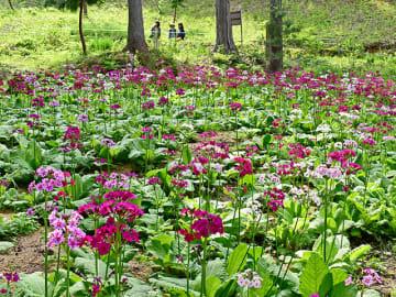 見頃を迎えて咲き誇るクリンソウ=1日午後2時26分、高山市国府町宇津江、花の森