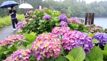 雨にぬれ、色鮮やかに咲き誇るアジサイ。見頃は今月中旬までという=2日午後、国富町八代南俣・籾木池