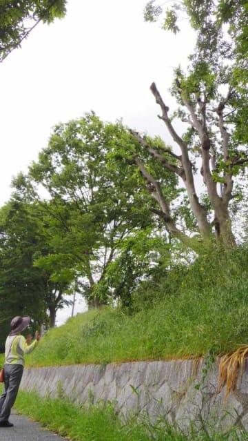 ヤドリギが寄生していた枝がすべて切り取られた樹木(京都市伏見区)