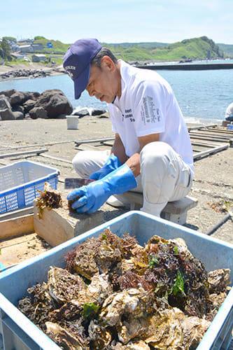 イワガキ漁が解禁された2日、漁師たちが水揚げしたばかりのカキに付いた海藻などを取り除く作業に追われた=遊佐町吹浦