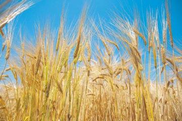 収穫期を迎えた大麦=足利市