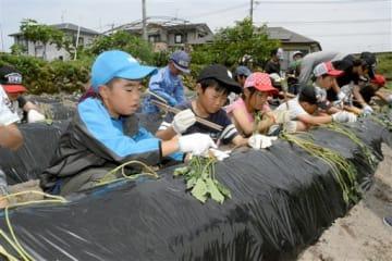 耕作放棄地にサツマイモを植え付ける東間小3年の児童=人吉市