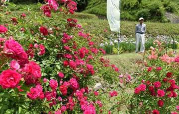 満開のバラと咲き始めたハナショウブ(奥)