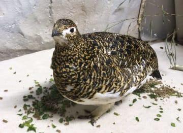 産卵したニホンライチョウの雌=3日、栃木県那須町の那須どうぶつ王国(那須どうぶつ王国提供)