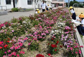 長さ約40メートルの花壇一面に咲いたナデシコ(滋賀県草津市草津3丁目・草津小)