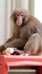 奪ったダイコンを食べるサル=5月31日、洲本市本町7(読者提供)