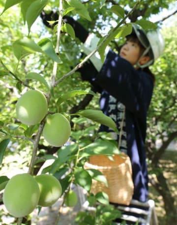 後楽園で行われた昨年の梅の実収穫