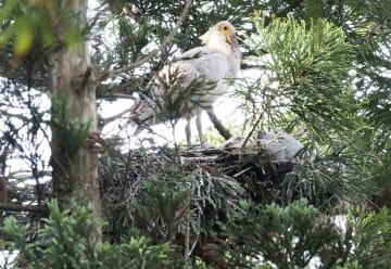 巣立ちが確認されたトキのひな=5日午前、新潟県佐渡市(環境省提供)