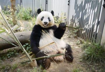 竹を食べるジャイアントパンダの子ども、シャンシャン=5月、東京・上野動物園(東京動物園協会提供)