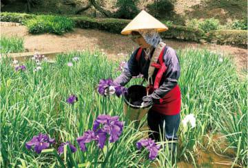 町田薬師池公園「しょうぶ・あじさいまつり」花摘み娘はフォトジェニック