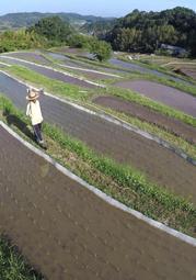 田植え作業が進んでいる棚田=6日午前、神戸市北区大沢町日西原