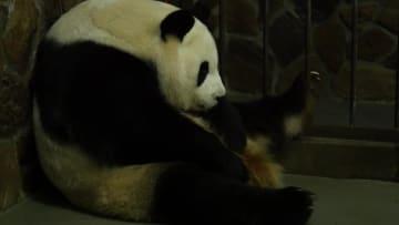 人工飼育下で今年初の赤ちゃんパンダ誕生