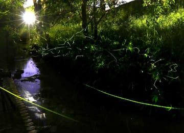 川辺を飛んだり、草むらでじっとしたりしながら発光するゲンジボタル(滋賀県守山市・市民運動公園)=71秒露光