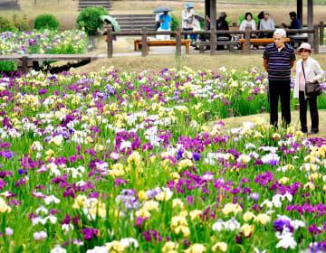 色鮮やかなハナショウブが一面に広がる池田池公園