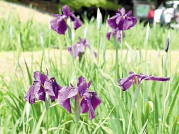 咲き始めたハナショウブ=4日午後、小鹿野町両神薄の両神国民休養地花しょうぶ園