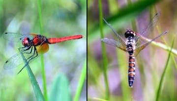 真っ赤な体が目を引く雄(左)と、トラじま模様が美しい雌