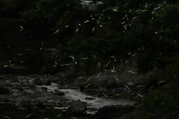 川辺で乱舞するゲンジボタル=川西市内(約14秒間露光)