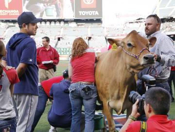 試合前に牛の「乳搾りコンテスト」に参加したマリナーズ・菊池(左端)=アナハイム(共同)