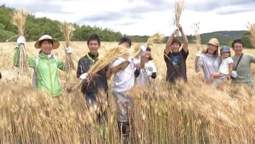 デュラム小麦を収穫する参加者たち