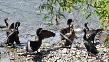 3月に初めて五ケ瀬川で確認された営巣地近くで魚を狙うカワウの群れ。ぬれた羽を乾かしている個体も=延岡市北方町