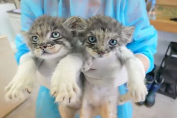 7月から公開予定のマヌルネコの雄(左)と雌の赤ちゃん(那須どうぶつ王国提供)