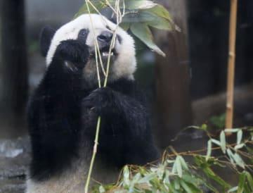 2歳の誕生日を前に公開されたジャイアントパンダのシャンシャン=10日午前、東京・上野動物園