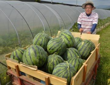 エコラブスイカを収穫する藤田秀美さん=10日午前、大洲市東大洲