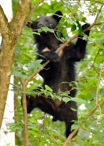 民家近くの木に登り、実を食べるクマ=6月9日午後2時15分ごろ、福井県福井市南西俣町