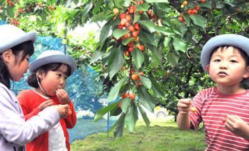 赤く色づいたサクランボをもぎ取って頬張る園児たち=南陽市鍋田・松田観光果樹園