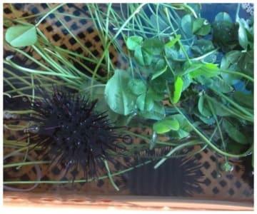 養殖カゴ内でクローバーを食べるムラサキウニ。(画像:九州大学発表資料より)
