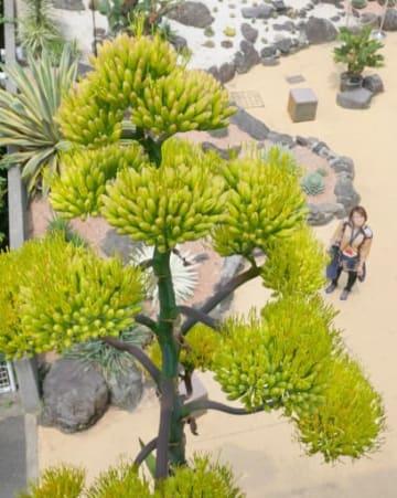 高い花茎上で順次開花中の「アガベ・サルミアナ・フェロクス」。細長い線状の部分が花=11日、大阪市鶴見区の咲くやこの花館