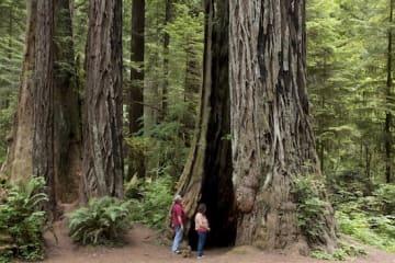 桁違いの巨木が立ち並ぶレッドウッド国立・州立公園。映画『スター・ウォーズ』のロケ地としても有名 ©︎Visit California/Carol Highsmith