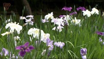 梅雨の花 ハナショウブが見ごろ