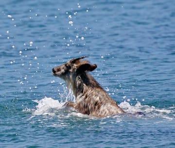 近くに現れ、100メートルほど沖合まで泳ぐカモシカ(成田徹さん提供)