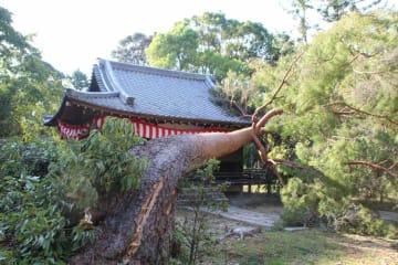 醍醐寺の清瀧宮拝殿前で倒れた木(2018年9月、京都市伏見区)=醍醐寺提供