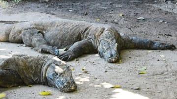 コモド島に生息しているコモドドラゴン(NNA撮影)