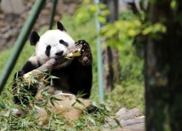 三つ子パンダの長女「萌萌」に妊娠の兆候