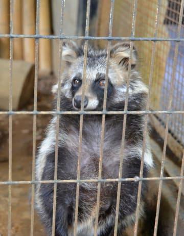 じわりと人気が高まっているホンドタヌキのゲンマイ=川崎市幸区の夢見ケ崎動物公園