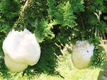木の枝に産み付けられたモリアオガエルの卵塊=高山市一之宮町