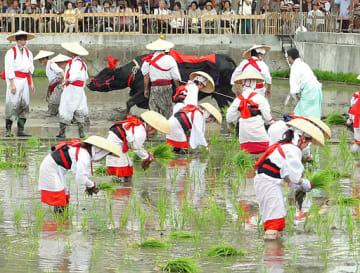 斎牛が代かきを行う中、手際よく苗を植える替植女ら=14日、大阪市住吉区の住吉大社