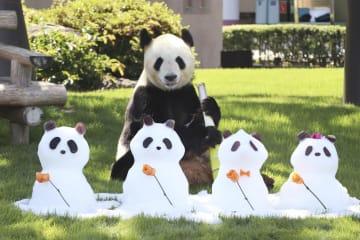 父の日に雪だるまをプレゼントされたジャイアントパンダ「永明」=16日午前、和歌山県白浜町のアドベンチャーワールド
