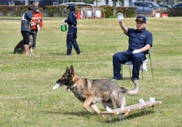台の上から、指定された臭いが付いた布を選別する警察犬