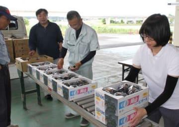 倉敷市真備町地区で出荷が始まったピオーネの選果作業